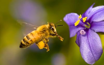 Honig – beeindruckende Kost der Natur